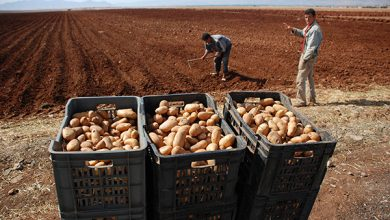 Photo of ولاية الوادي تصدّر 300 طن من البطاطا إلى إسبانيا