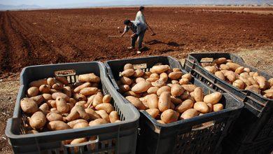 Photo of الجزائر ستتوقف عن استيراد بذور البطاطا بحلول 2022